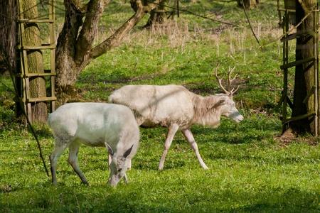 albino deer in the springtime, Zehusice forest, Czech Republic photo