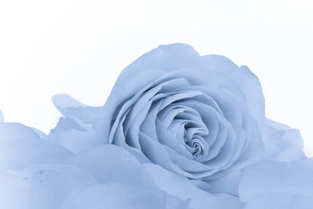 close up of blue rose petals photo