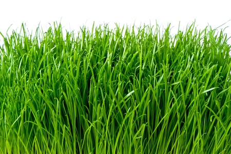spring grass isolated on white photo