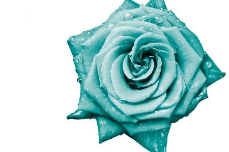 turquesa color: cerca de p�talos de Rosa