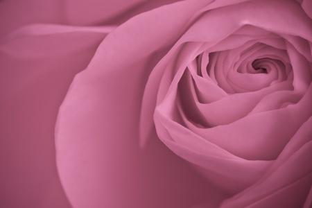 close up of pink rose petals Stock Photo - 9429888