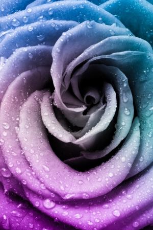 close up of beautiful multicolored rose photo