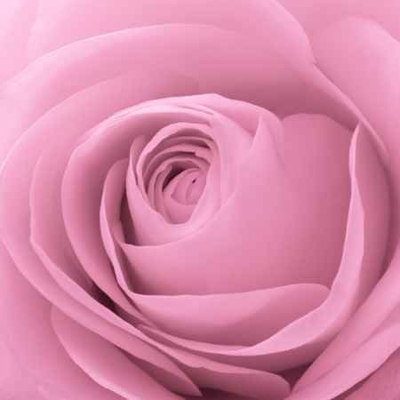 close up of pink rose petals photo