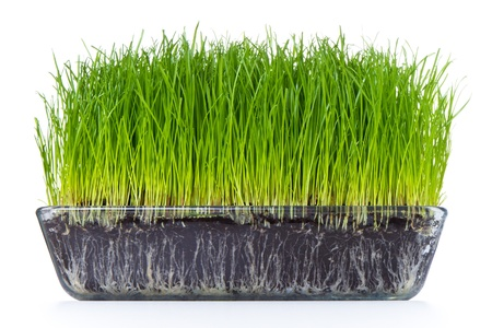 grass with soil isolated on white photo