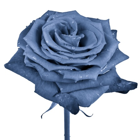 blue rose petals close up Stock Photo