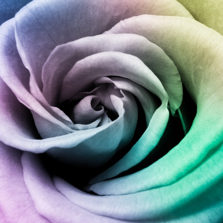 rose petals: close up of beautiful multicolored rose Stock Photo