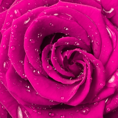 droplets: close up of pink rose