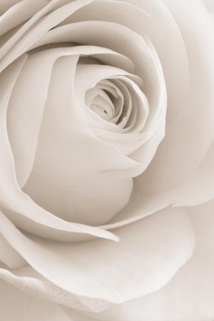 deseo sexual: Close up de p�talos de rosas blancas Foto de archivo