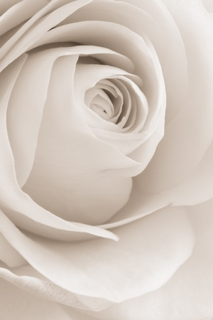 close up of white rose petals Stock Photo