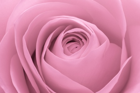 pink rose petals: close up of pink rose petals