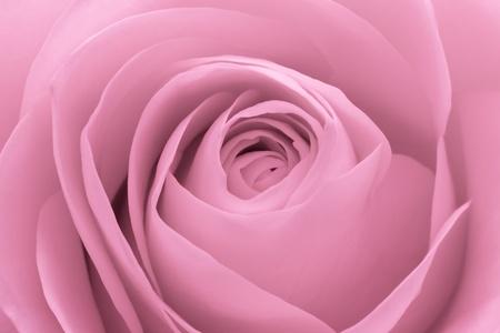 roses garden: close up of pink rose petals