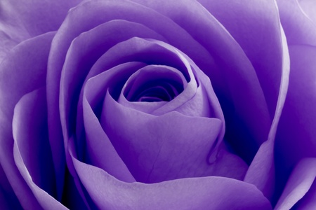close up of violet rose petals photo