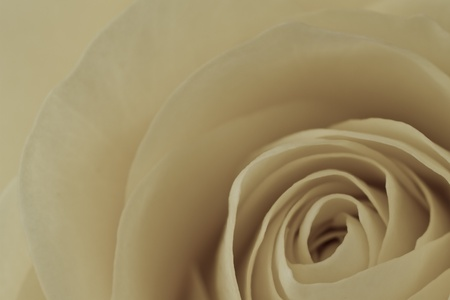close up of white rose petals photo