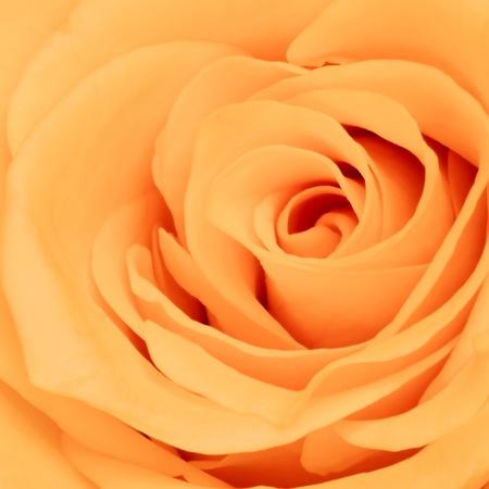 close up of orange rose petals photo