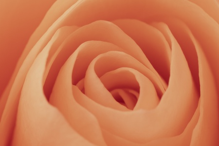close up of orange rose petals photo