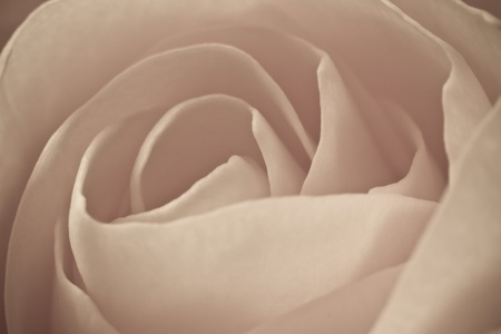 close up of rose petals photo