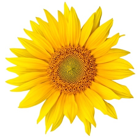 a sunflower: sunflower close up isolated on white background Stock Photo