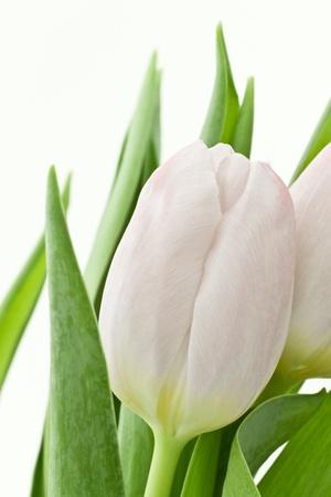 white tulip: white tulips isolated on white background