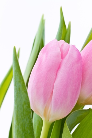 close up of pink tulips on white background photo