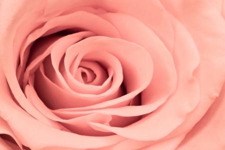 close up of pink rose petals photo