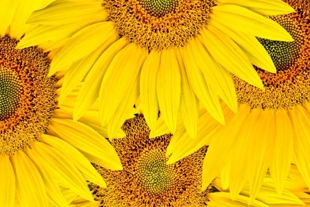 background made of beautiful yellow sunflowers photo