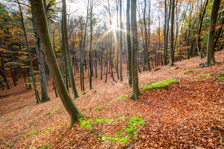 sunrise in autumn beech and oak forest