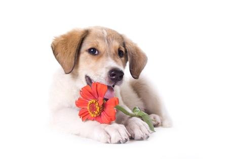 白い背景で隔離の花と子犬
