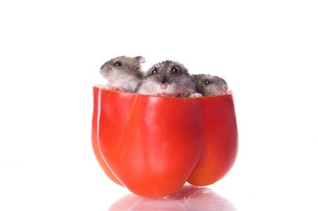 hamsters: hamsters and pepper