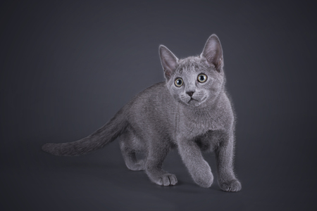 russian blue: kitten Russian blue cat isolated on a colored background Stock Photo