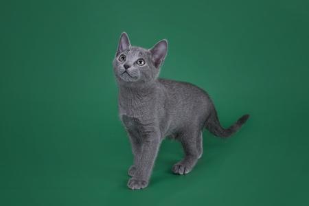 色付きの背景に分離されたロシアの青猫の子猫します。