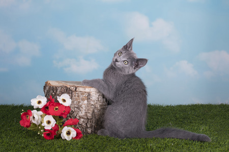 russian blue: Kittens Russian blue cat playing on the grass in spring day