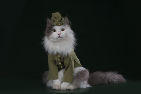 A cat in the uniform of a soldier Stock Photo