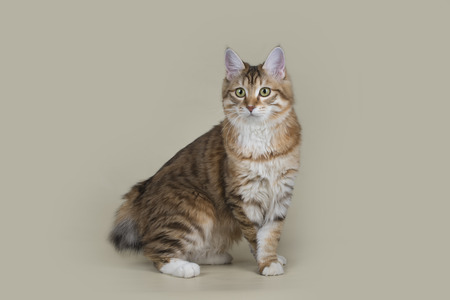 Kurilian Bobtail on a light isolated background Stock Photo