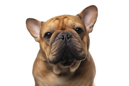 French bulldog on a white isolated background
