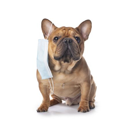 french bulldog in medical mask on a white isolated background