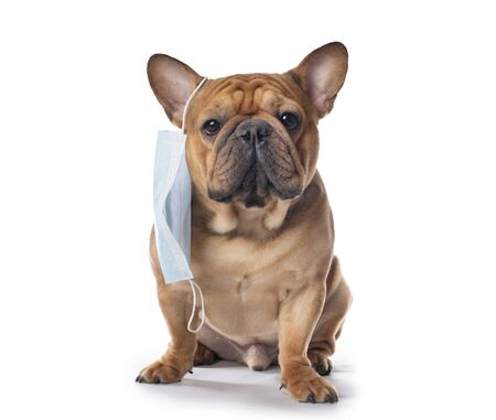 french bulldog in medical mask on a white isolated background Foto de archivo