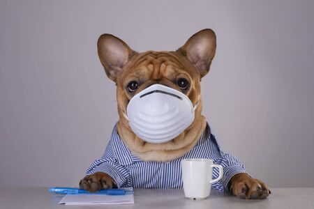 French bulldog in medical mask at workplace during pandemic Standard-Bild