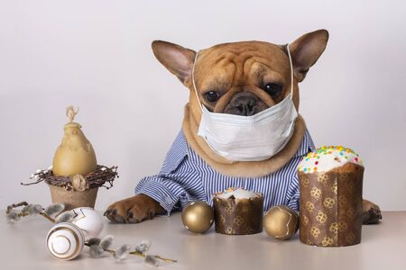 dog french bulldog sit in medical masks at the easter table during quarantine