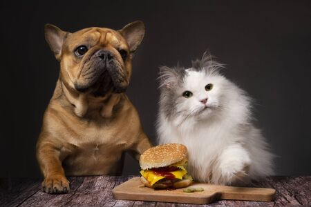 fluffy cat and dog french bulldog want to steal a cheeseburger. Photo on a dark isolated background