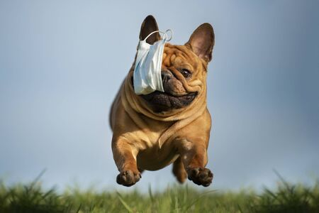 dog French bulldog runs in the park with a mask of teeth after a pandemic