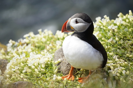 An atlantic puffin surrounded by flowers at the Látrabjarg cliffs, Iceland