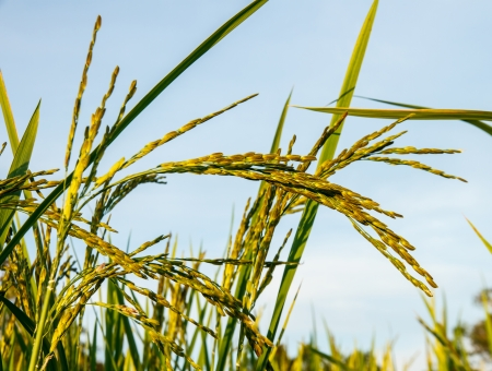 staple food: Rice grain used as the staple food in many Eastern countries