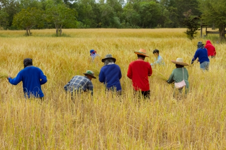 reaping: The farmers help together reaping rice in the field  Editorial