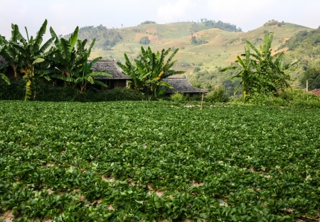 The landscape of strawberry garden in the northern thailand  photo