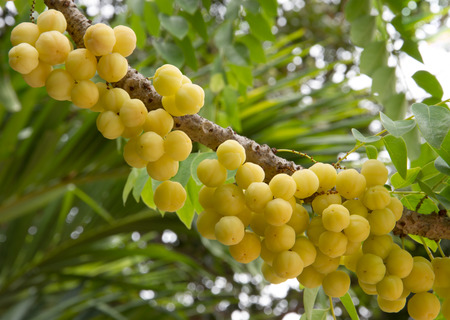 Tropical star gooseberry in Thailand photo