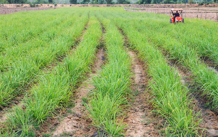 wonderfull: Wonderfull rows of green sugar cane.