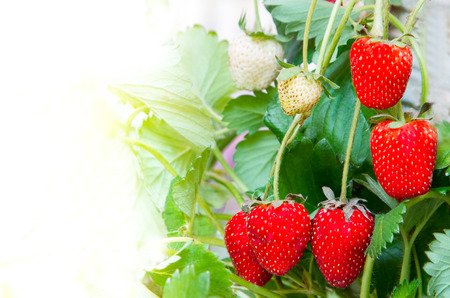 Fresh strawberry from the Royal Project Doi Inthanon in Chiang Mai, northern of Thailand.
