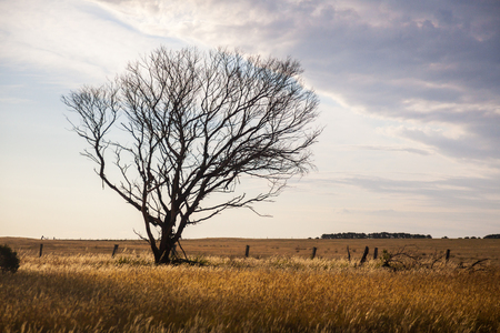 australian landscape: A lone dry tree in the middle of a vast field of dry grass. A typical Australian landscape. Evening lighting, high contrast. Stock Photo