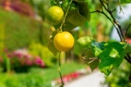 Close up lemons hanging from a tree in a lemon grove Stock Photo
