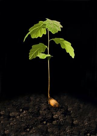 youth mighty oak photo